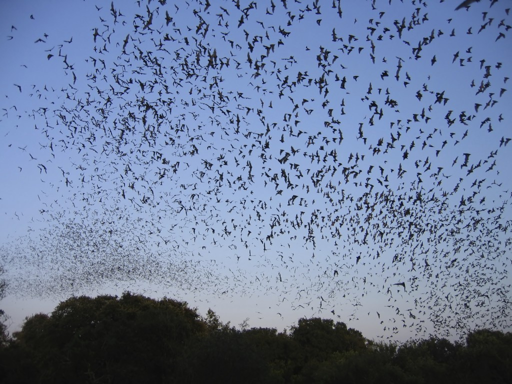 Bats flying in the sky - iStock_000000741781_Large