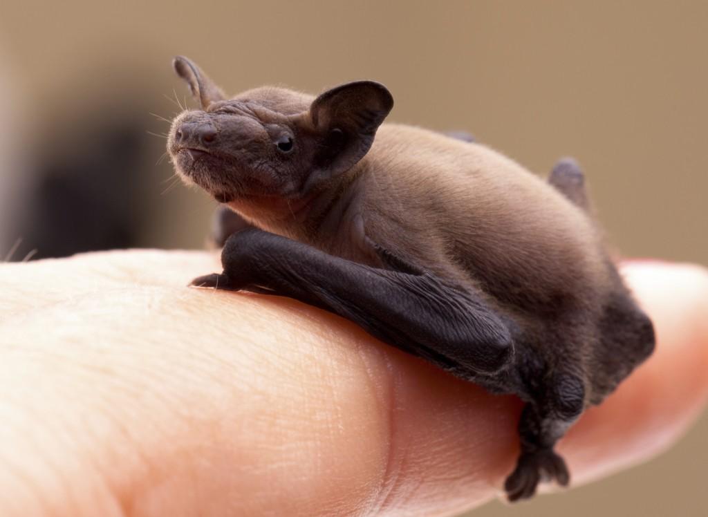 Baby Bat (Pipistrellus pipistrellus)