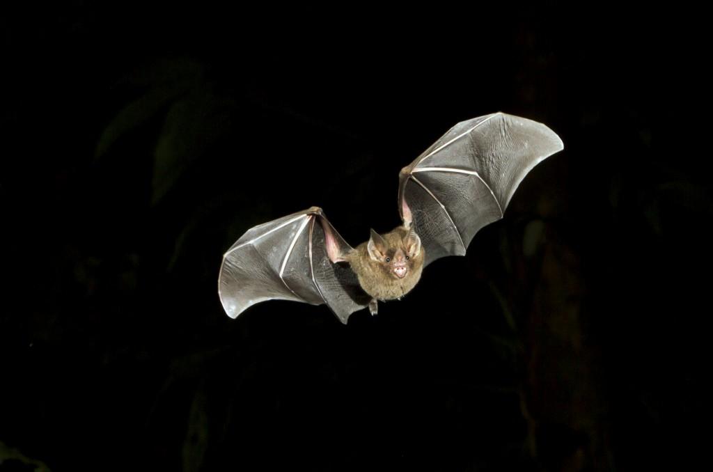 Fruit Bat - iStock_000055481814_Medium